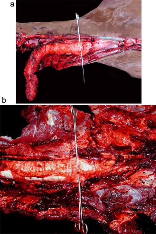 a) Occlusion of the trachea with large gut clamps prior to opening the thorax. b) Closer view of tracheal clamps.
