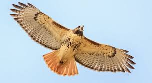 Red-tailed hawk that's been actively followed online has gone ...