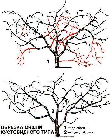 Формирование куста войлочной вишни