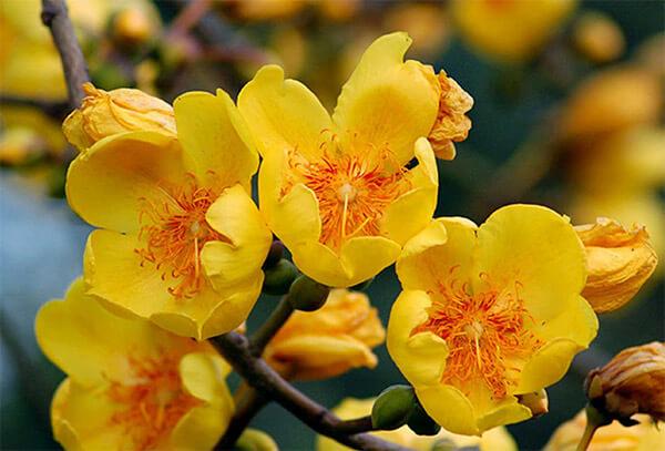 Cây cảnh của các loại mai vàng đẹp nhất - 5
