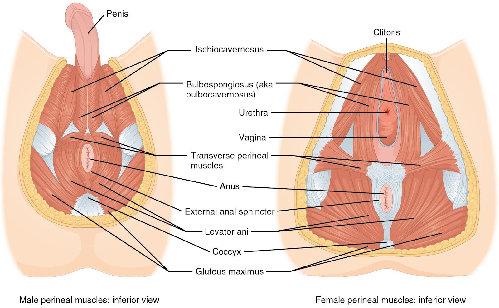 disfunción del suelo pélvico dolor rectal