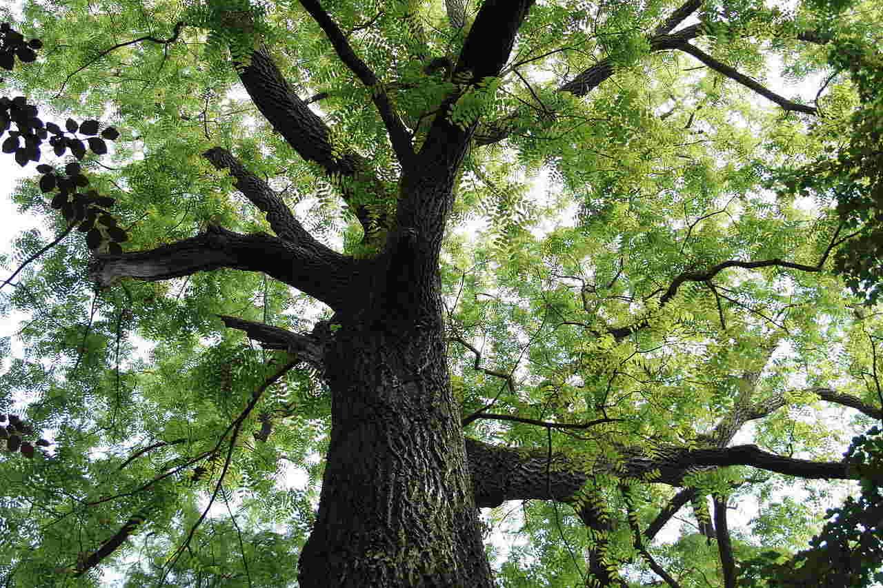 Gỗ Đàn Hương được liệt vào danh sách gỗ quý hiếm được săn lùng trên thế giới