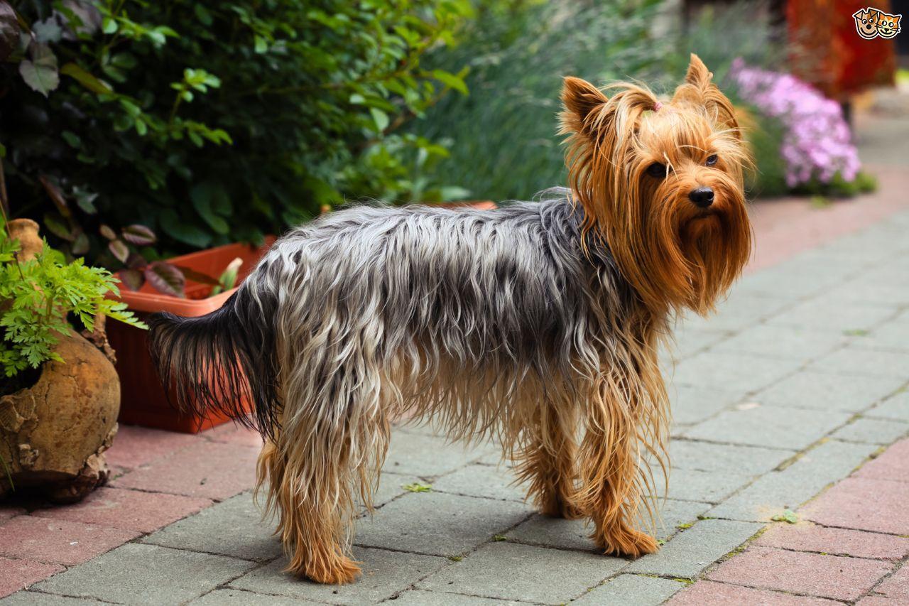Собака породи йоркширський тер'єр стоїть