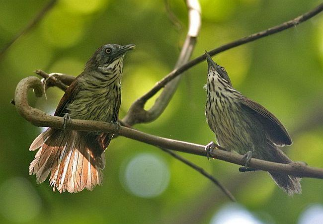 http://orientalbirdimages.org/images/data/boldstriped_tit_babbler.jpg