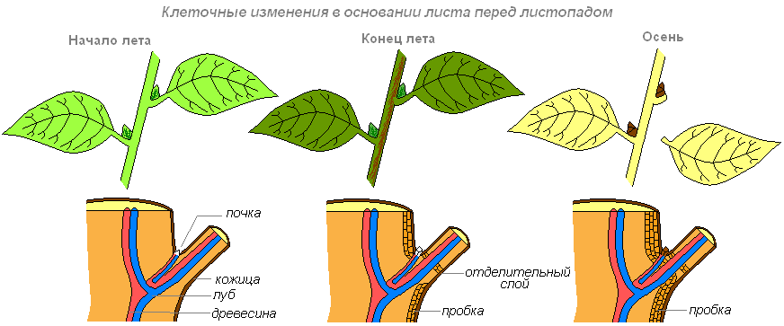 Клеточные изменения в основании листа