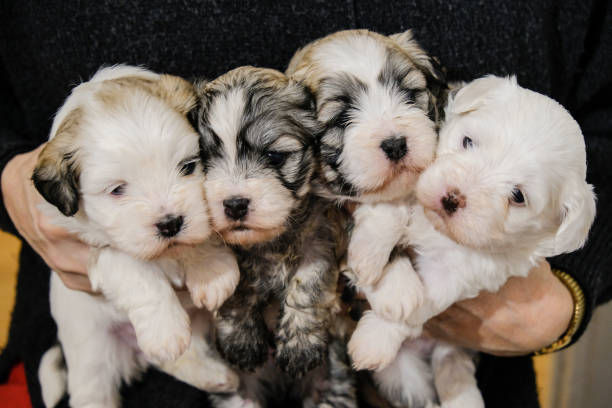 one human holds 4 bichon havanais puppies at 4 weeks - dog breeder stock pictures, royalty-free photos & images