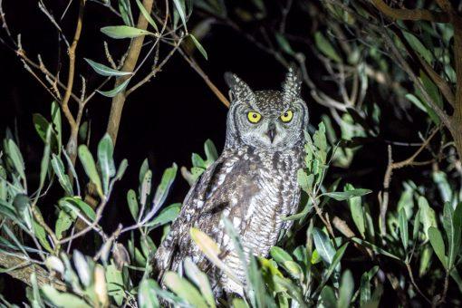 Uma coruja iluminada pela luz da lanterna, com olhos amarelos e orelhas em pé.