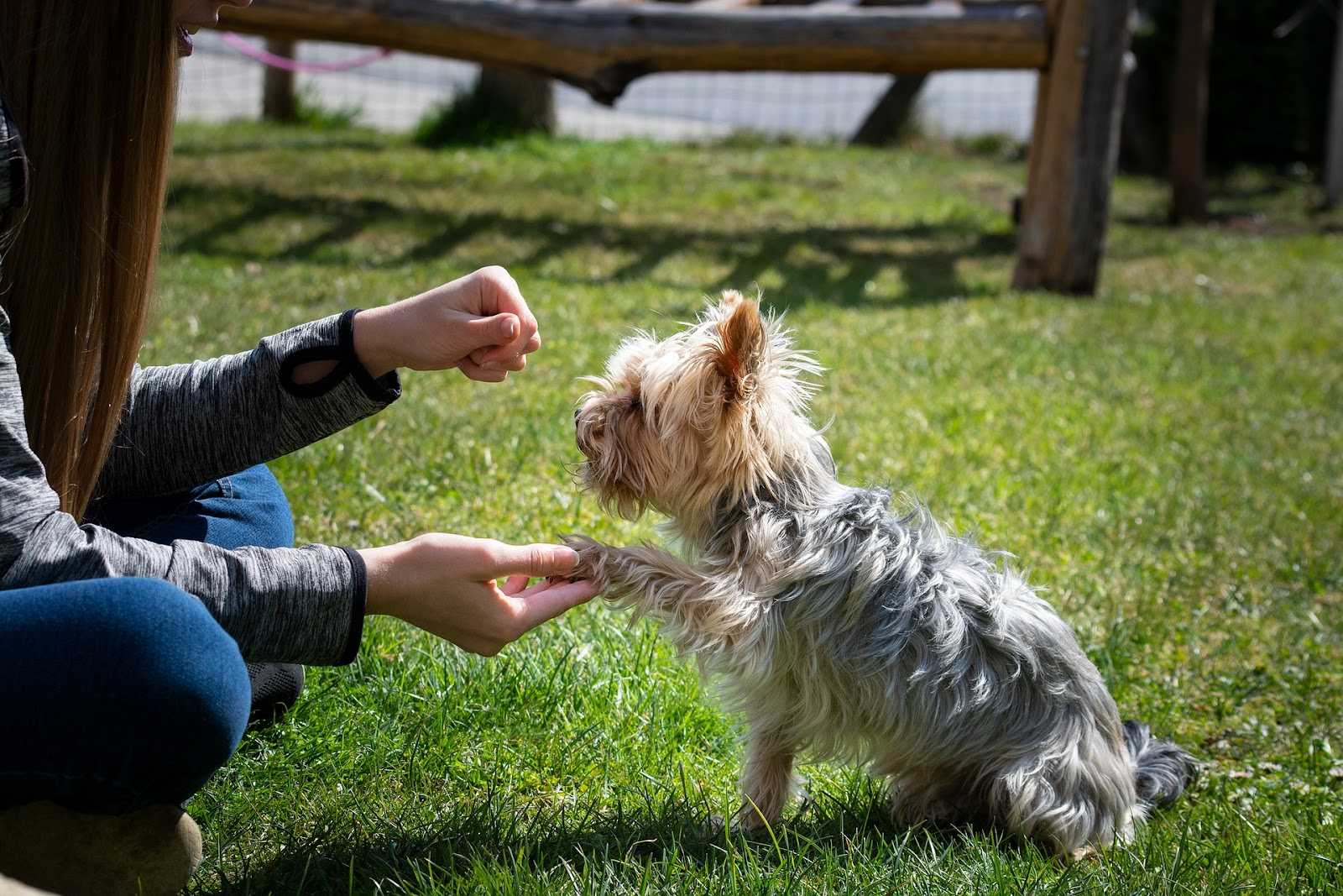 small yorkie dog sitting and has paw in woman's hand