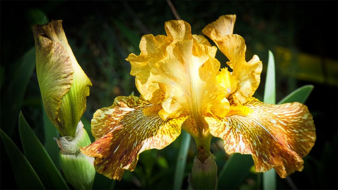 Golden Idol Iris.jpg
