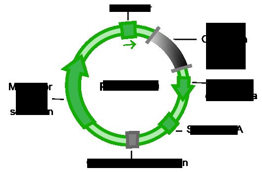 Plasmid con origen de replicacion y mercador de seleccion