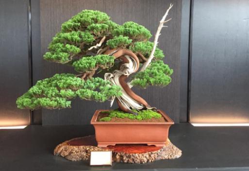 Thị trường cung cấp bonsai hiện nay