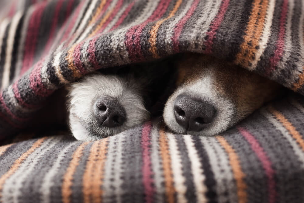 two dogs sleeping under a blanket