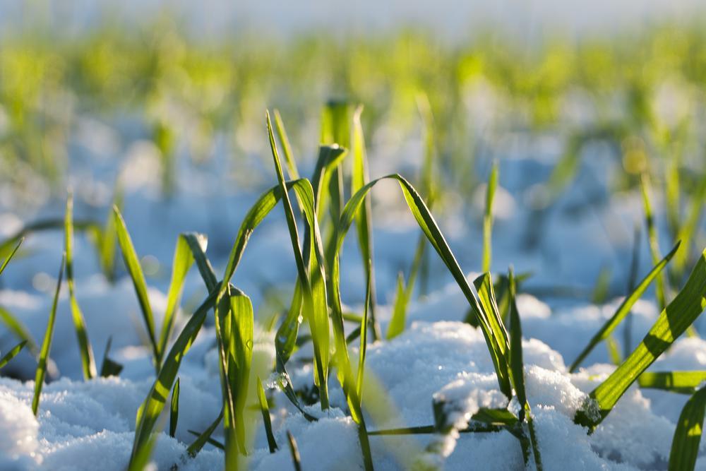 E:\panets\РОЗСИЛКИ\Wheat-in-snow.jpg