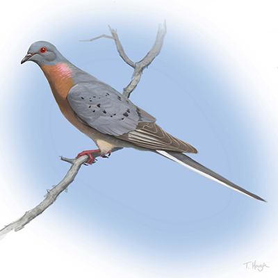 Image result for passenger pigeon