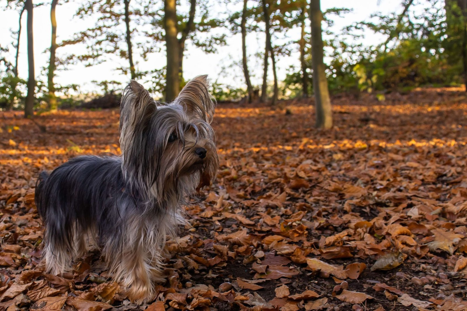 What Do Yorkies Like To Play With?