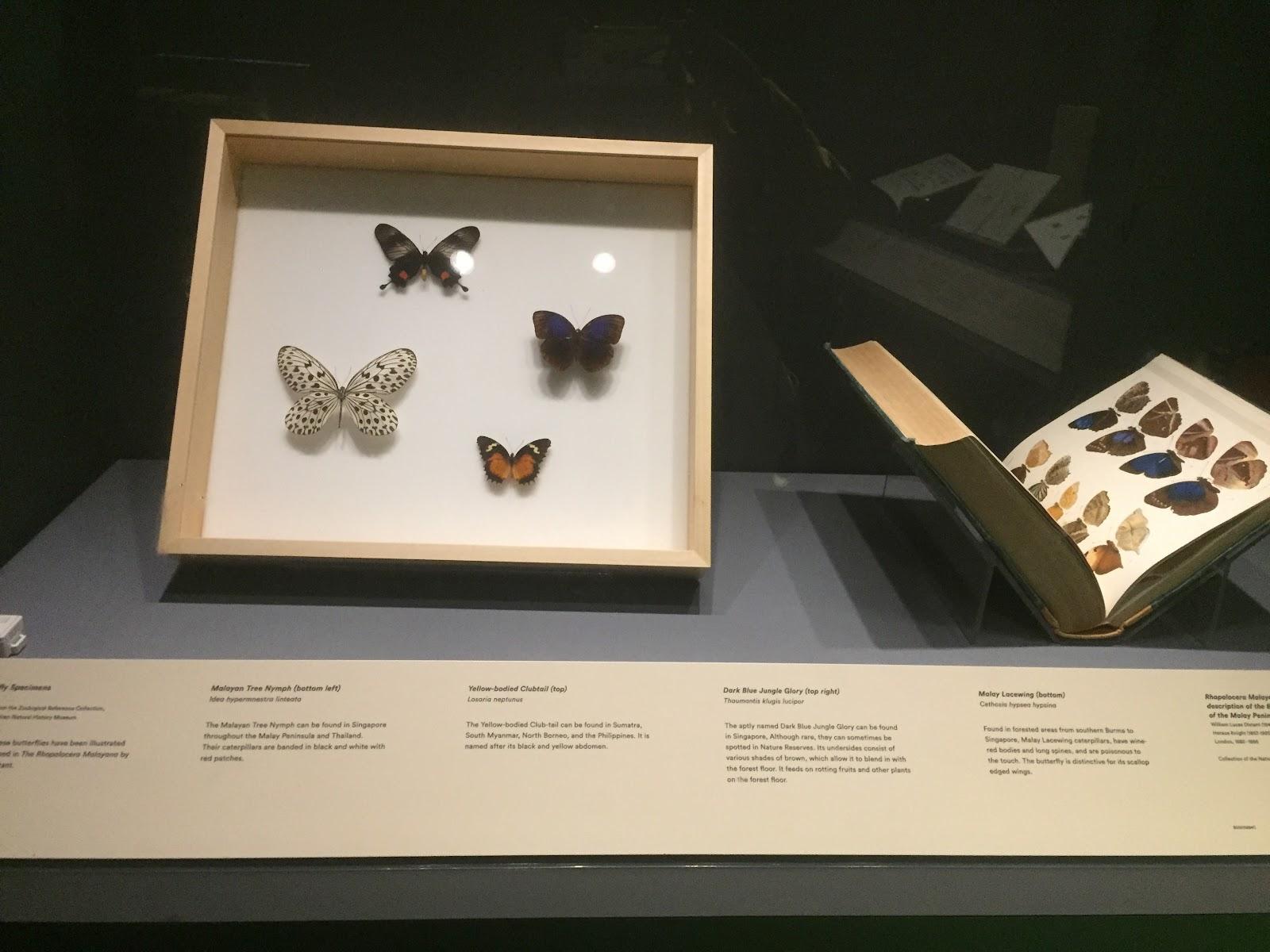 Preserved butterfly specimen