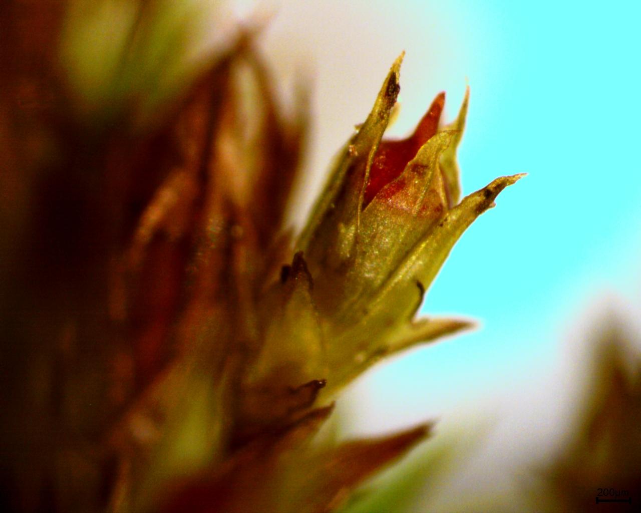 Scistidium apocarpum 30x.jpg