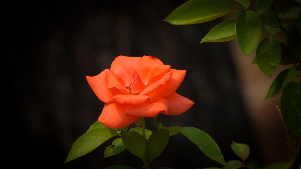 Reddish Rose.jpg