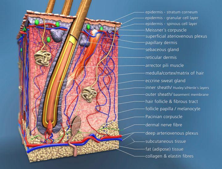 As seen here, every pore is the opening of a hair follicle, which contains its own sebaceous gland.