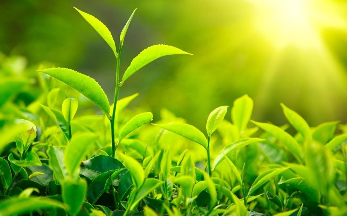 Trà xanh an toàn trong sử dụng cho bệnh nhân đái tháo đường