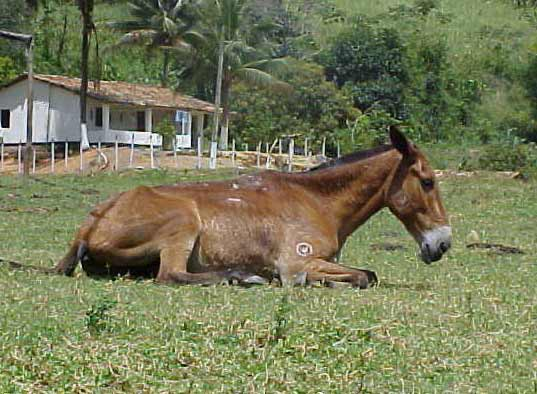 Chronic glanders in a horse with multiple lesions on the back and foreleg.