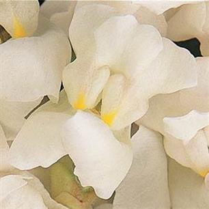 Solstice White Snapdragon