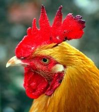 cockscomb-rooster-2.jpg