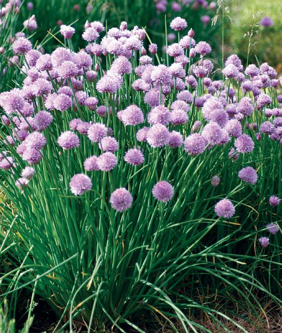 Allium schoenoprasum.