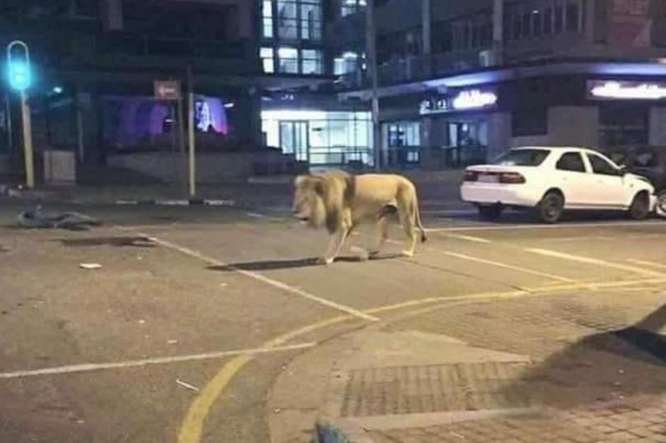 Lion On the Street