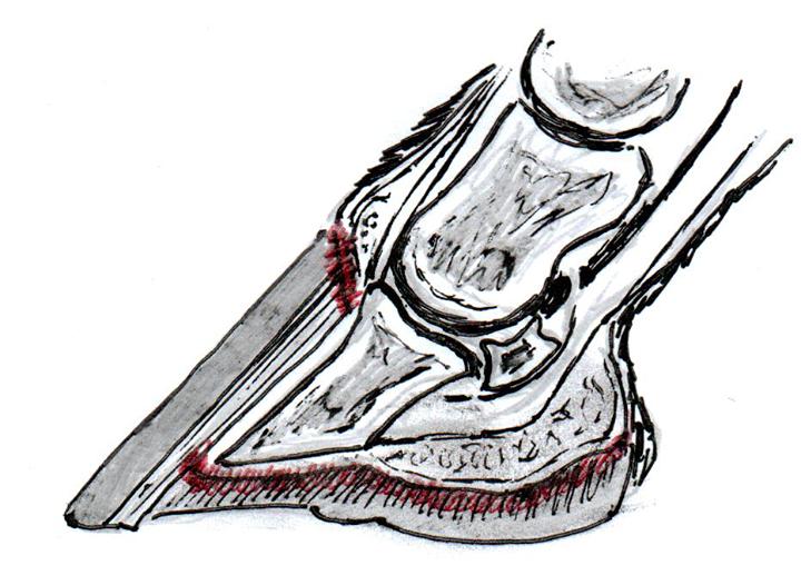 Fig. 2 - Dannelse af nyt horn sker primært fra tubulære strukturer i kronrand, hovbenets spids samt i hele sålen.