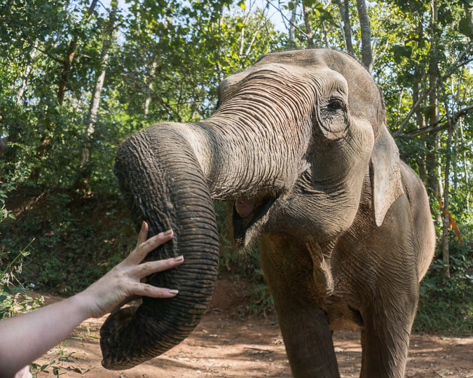 Happy elephant at a sanctuary in Chiang Mai, Thailand.