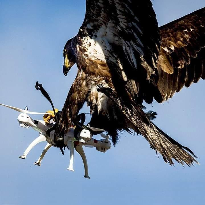 19. Photo click by the photographer camera when he finds the eagle catching his drone camera