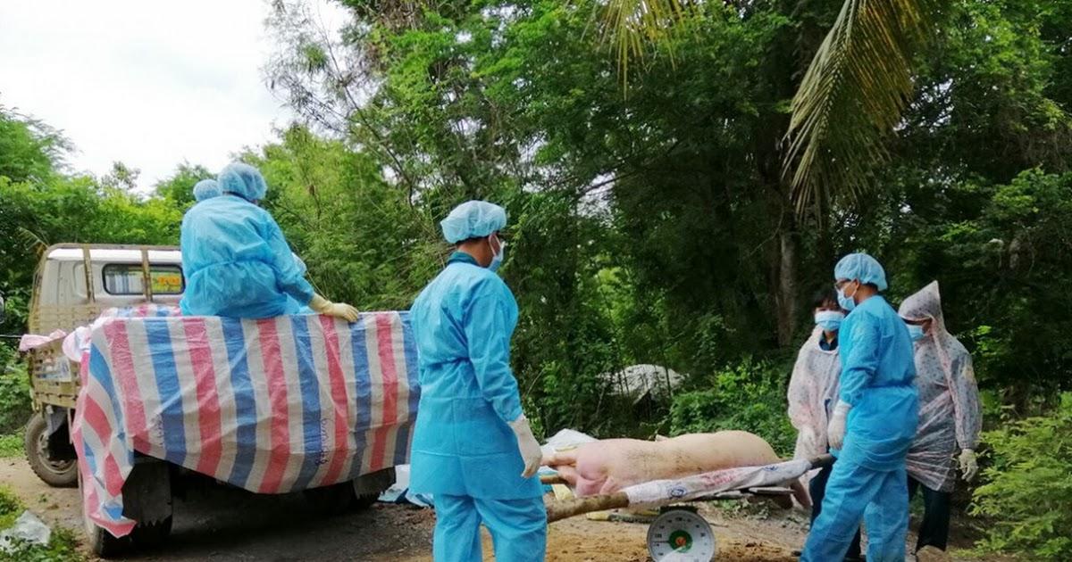 Hơn 4,347 tỷ đồng hỗ trợ hộ nuôi có heo tiêu hủy, do nhiễm dịch tả heo Châu Phi