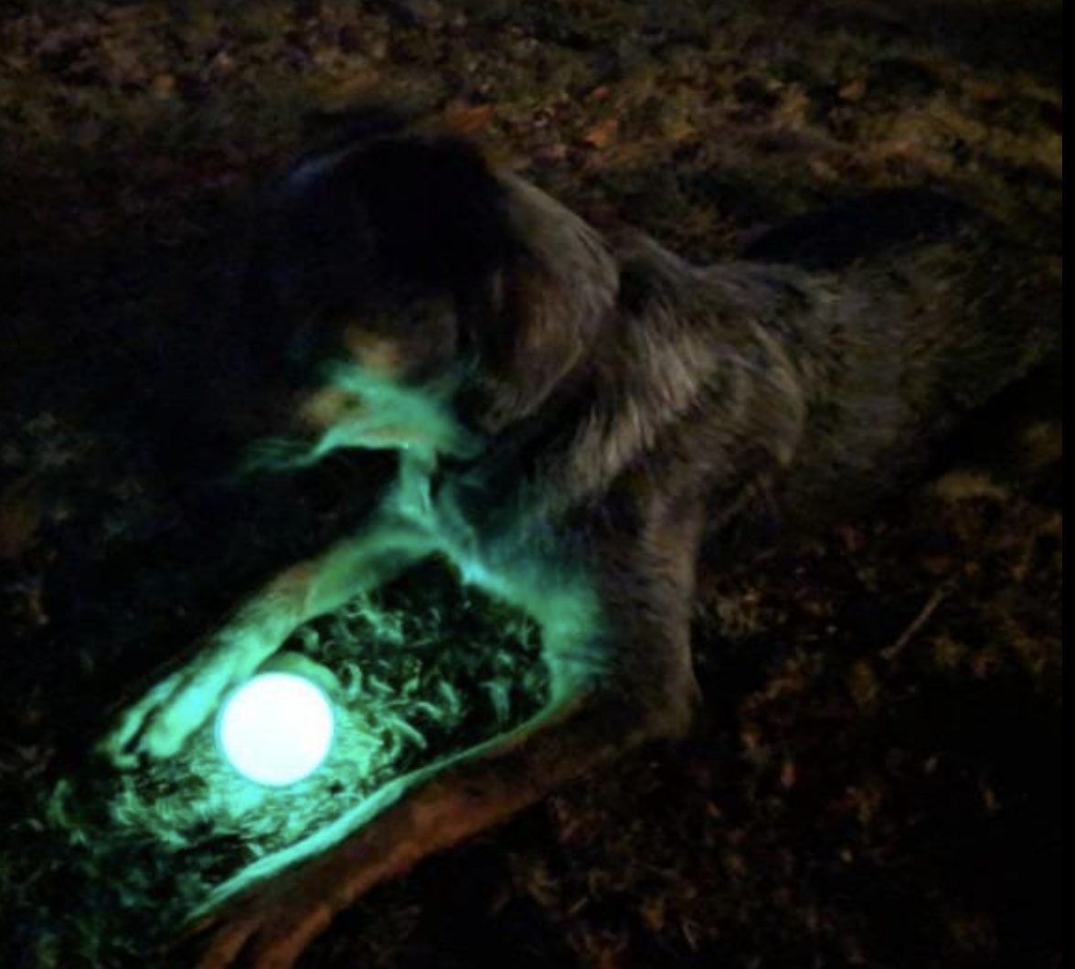 Dog playing with glow-in-the-dark ball