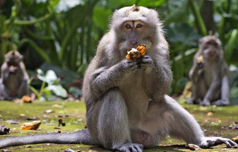 Macaques eat bananas during feeding time at Sangeh Monkey Forest in Sangeh, Bali Island, Indonesia, Wednesday, Sept. 1, 2021. Deprived of their preferred food source - the bananas, peanuts and other goodies brought in by the tourists now kept away by the coronavirus - hungry monkeys on the resort island of Bali have taken to raiding villagers' homes in the search for something tasty. (AP Photo/Firdia Lisnawati)