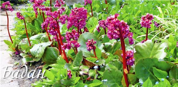 бадан, бадан свойства и выращивание