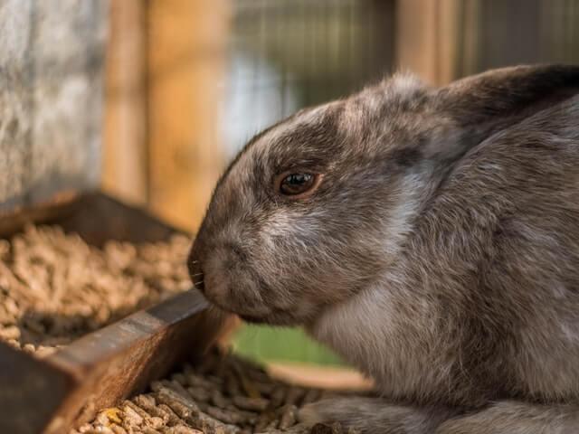 Do Ferrets Eat Rabbits?