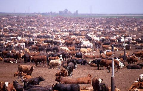 Description: http://4.bp.blogspot.com/_ndoJPI7F_R4/TNCaCdMQj2I/AAAAAAAAAsE/0Hq0vtbdn8w/s1600/cattle-feed-lot%5B1%5D.jpg
