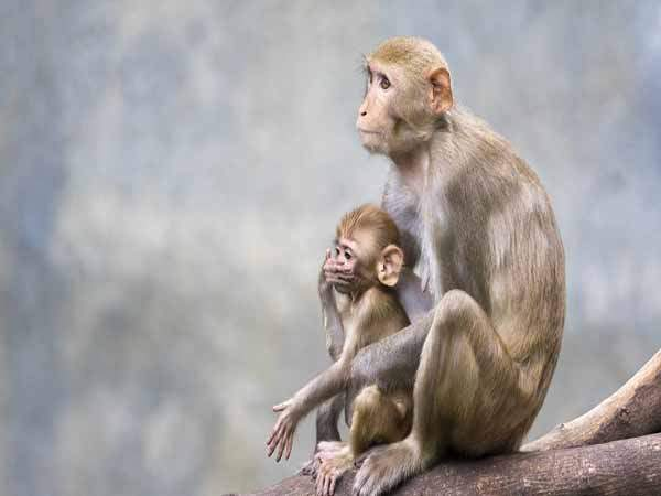 Mơ thấy Khỉ là điềm báo gì đánh con số nào may mắn