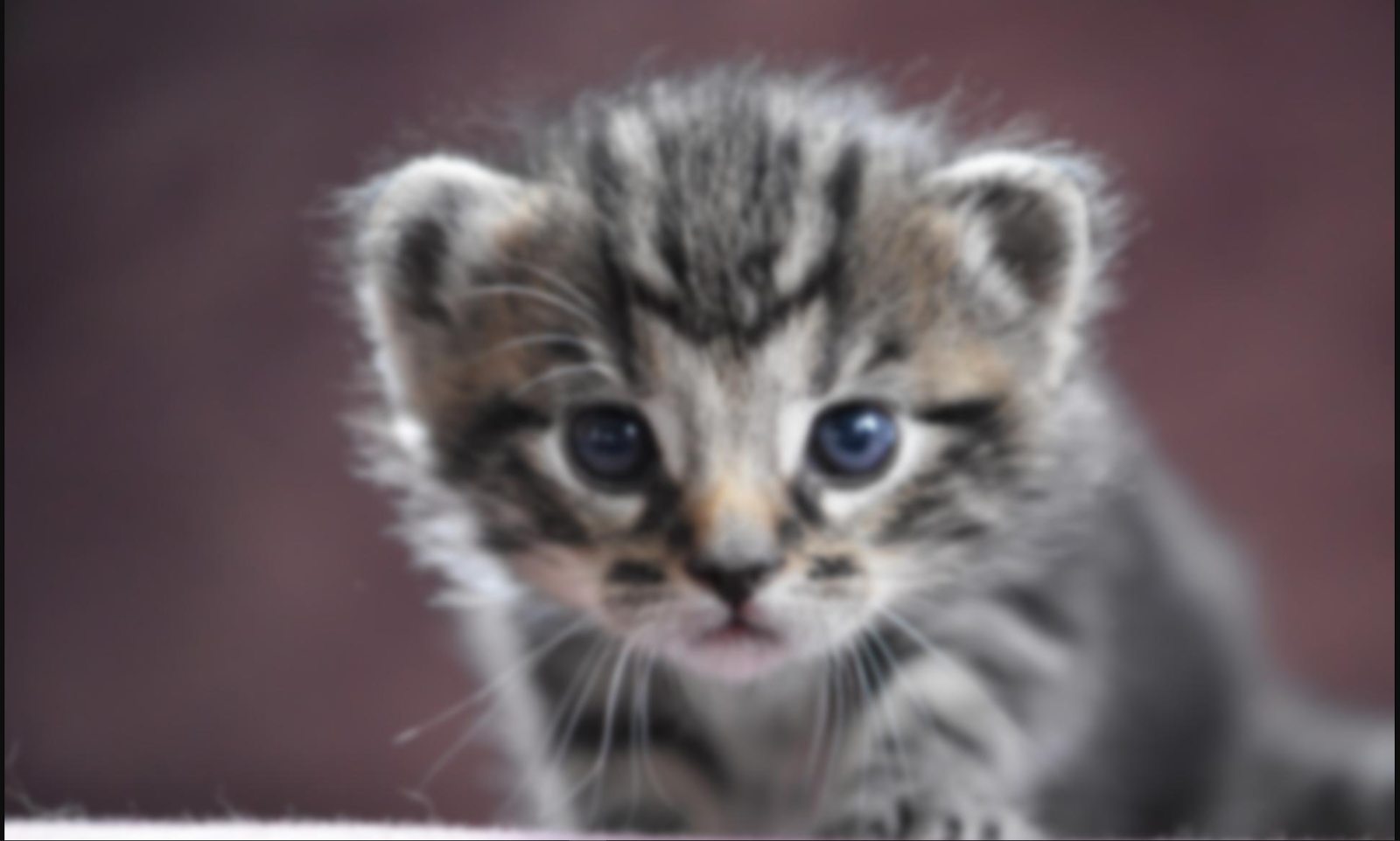 Slightly blurred version of the kitten photo
