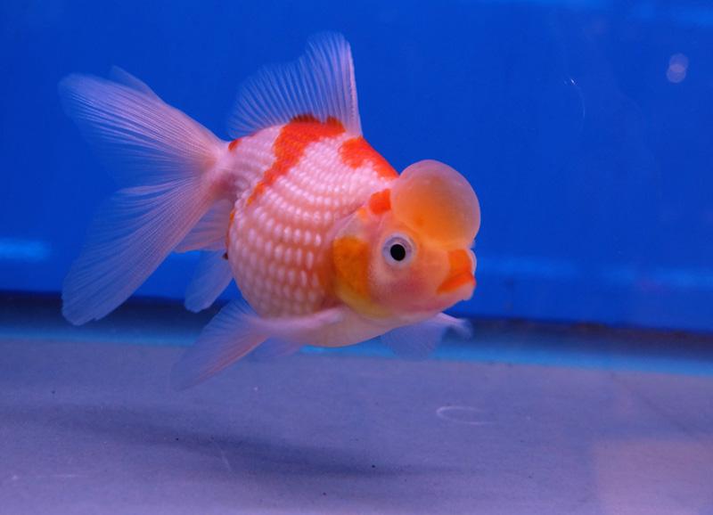 8. Pearl Scale Goldfish