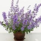 https://www.vitroflora.pl/img/produkty/rosliny/_137X137/nepeta-junior-walker_75044_2.jpg