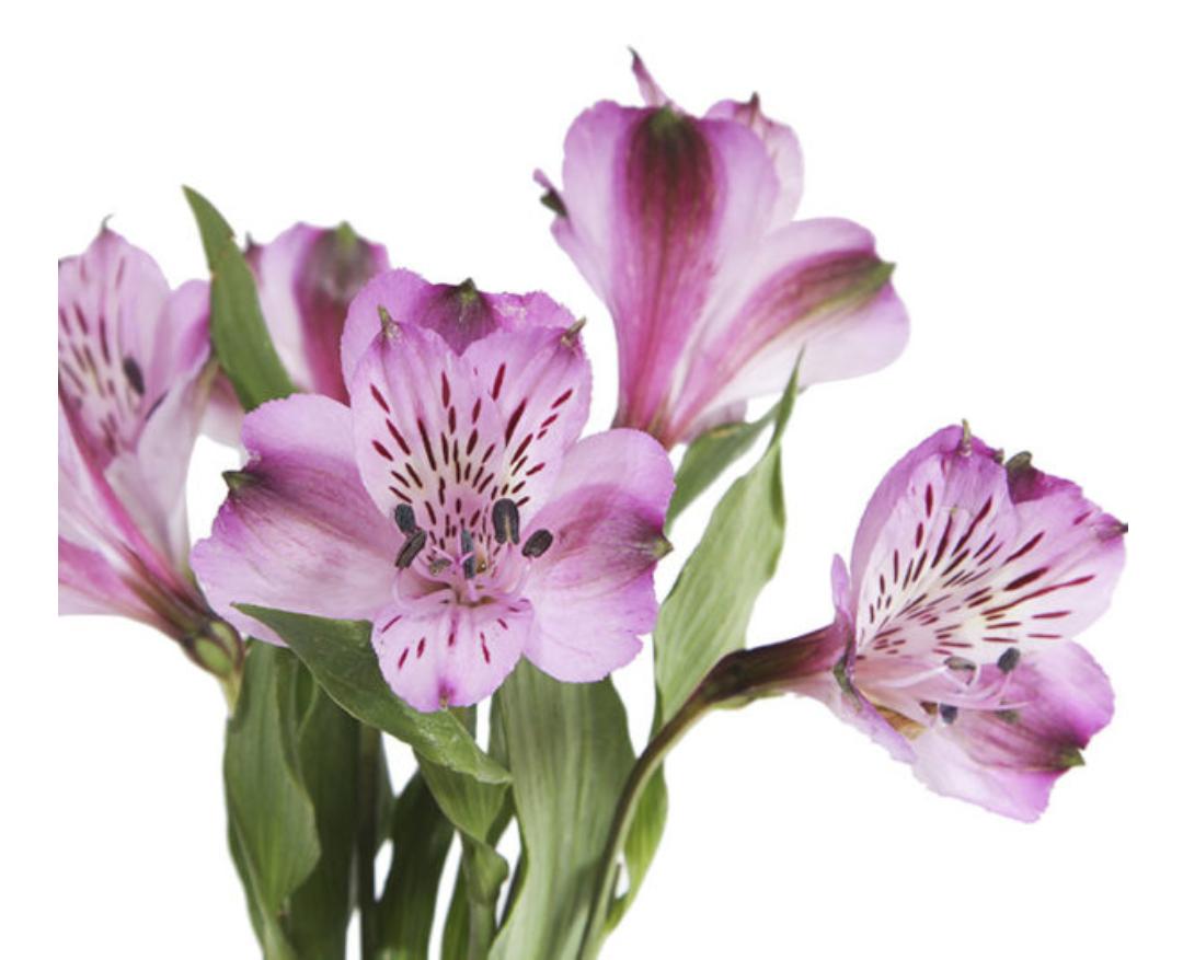 Exotic Flowers-Alstroemeria