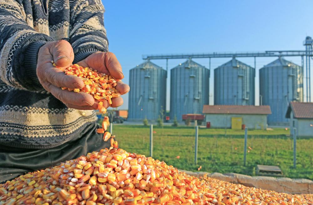 A indústria sul-coreana utiliza largamente o milho como insumo para fabricação de rações. (Fonte: Shutterstock/branislavpudar/Reprodução)