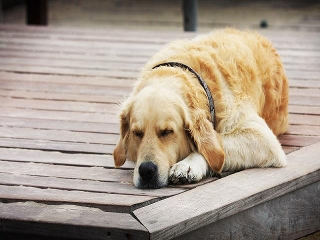 Mỗi giấc mơ thấy chó đều mang một ý nghĩa nhất định