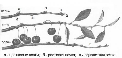Ветки вишни