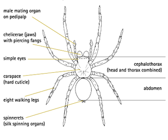 Image result for Spiders have muscles