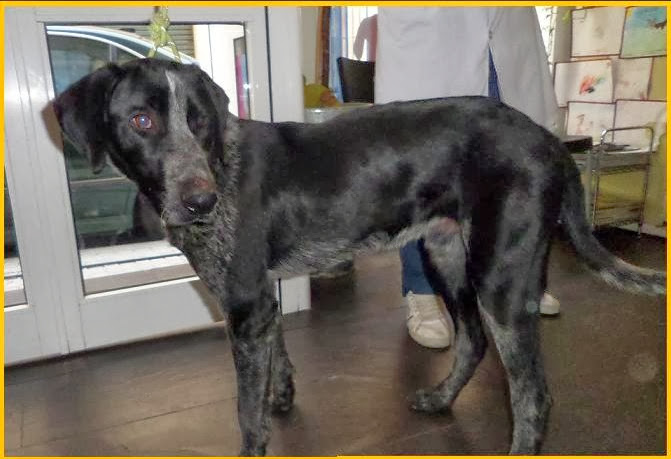 bracco – Adotta un cucciolo