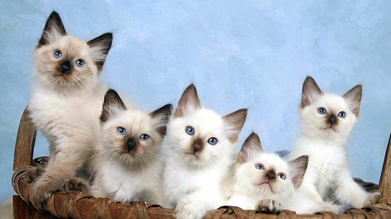 Cung cấp đủ thức ăn cho mèo Bali phát triển tốt