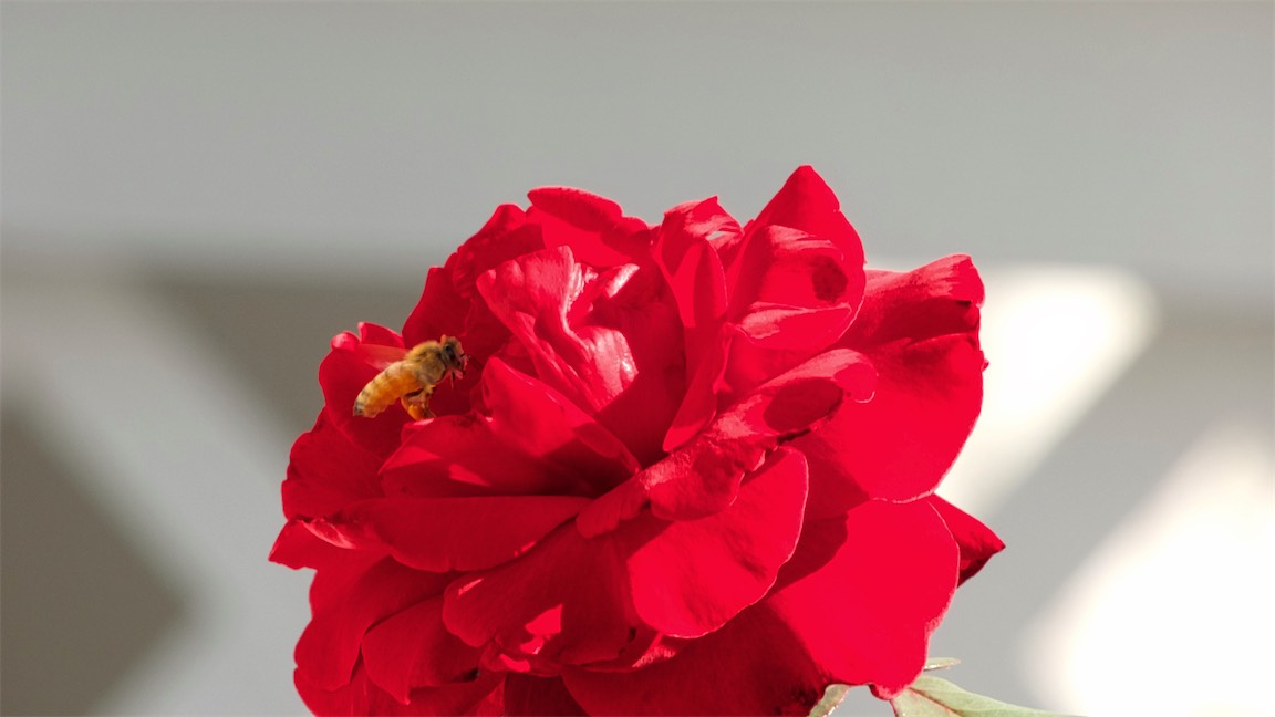 Bee Red Rose 3.jpg